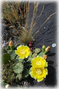 Opuntia vulgaris blossoming at Seradina!